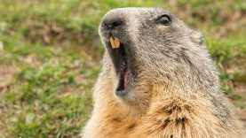 groundhog-open-mouth